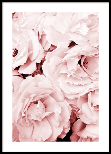 Close Up Pink Roses Poster in de groep Posters / Fotokunst bij Desenio AB (11793)