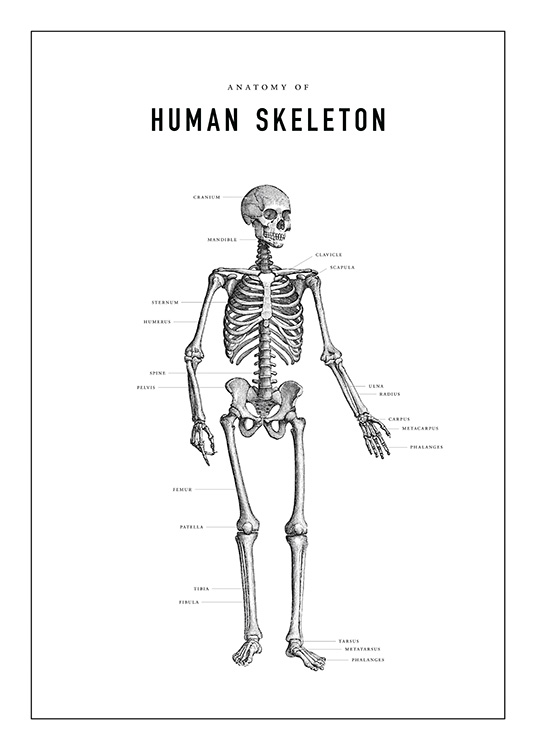 Human Skeleton Anatomy Poster / Illustraties bij Desenio AB (13731)