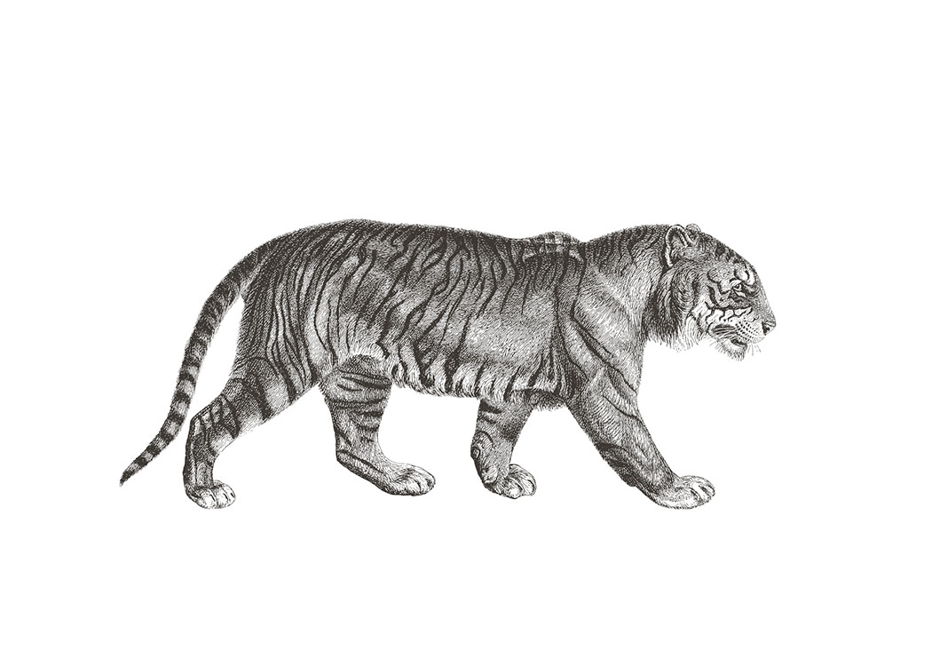 Tiger Illustration, Poster / Zwart wit bij Desenio AB (7032)